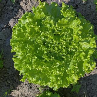 Salat Batavia vom Hof