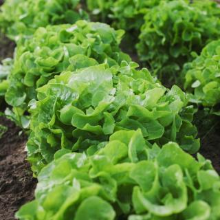 Salat Eichblatt vom Hof
