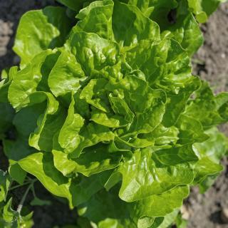 Salat Kopfsalat vom Hof